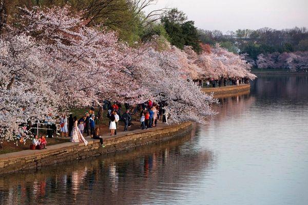 Blossoms in Washington, D.C. The Yoshino Cherry trees