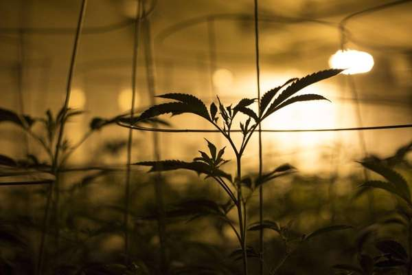 Young marijuana plants grow at the Smokey Point