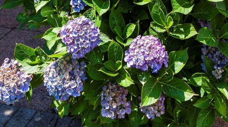 Determine which species of hydrangea you have to