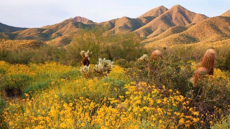 Wildflowers flourish among the desert plants at McDowell