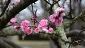 An early spring flowering cherry blossom in
