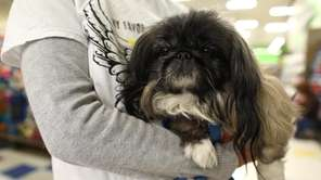 Tippy is a 12-year-old female Pekingese who is