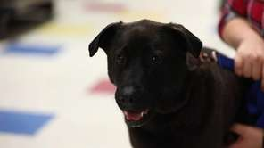 Dasher is a 7-year-old male, Lab mix who