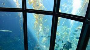 The giant kelp forest at the Monterey Bay