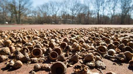 Acorns lie on abandoned tennis courts on Accabonac
