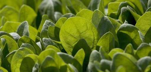 Baby spinach grows in a field Sept. 23,