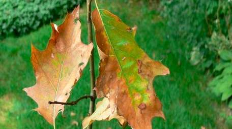 These leaves are showing oak wilt, a contagious