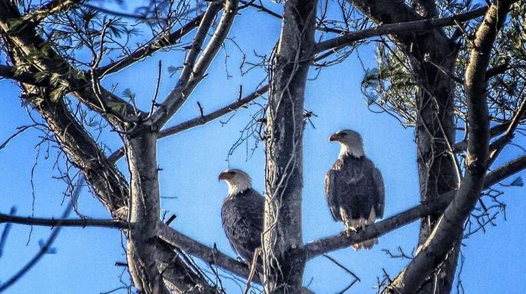 Two bald eagles have nested in a tree