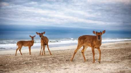Three deer on the beach in front of