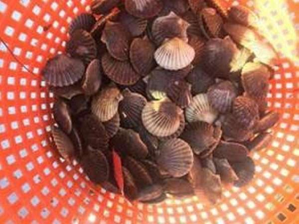 These are immature or juvenile scallops, known as