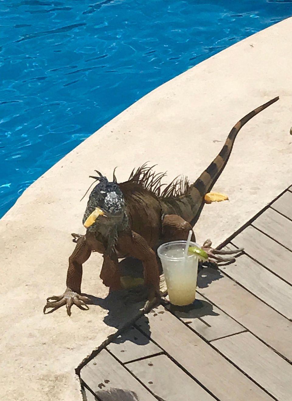 Mr. Iguana during Happy Hour at Vidanta Resort