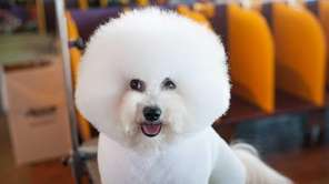 The bichon frise does not shed, eliminating the