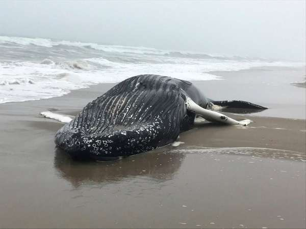 A dead humpback whale was found washed ashore