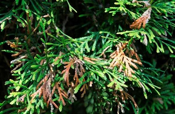 Some arborvitae can be saved from leafminer infestation.