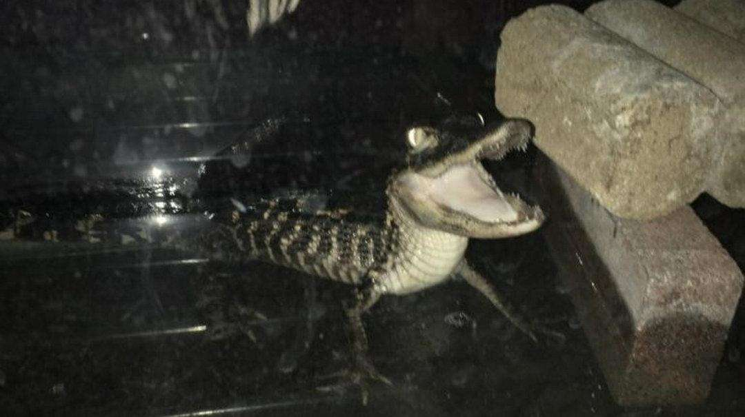 A caiman was found in a Flabush-Ditmas Park