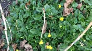 Lesser celandine, commonly called fig buttercup, can seem