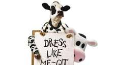 Chick-fil-A's Cow costume is seen in an undated