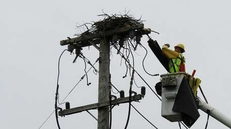 PSEG Long Island workers move an osprey nest
