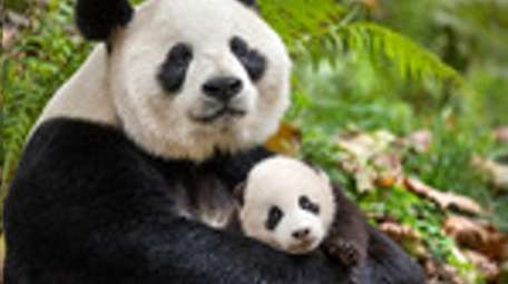A mother and child panda are among the
