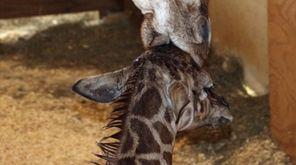 A giraffe named April kisses her new calf