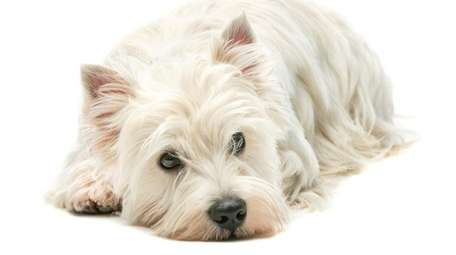 A family concerned about its West Highland terrier's