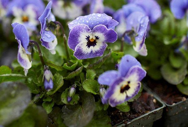 Violas at Old Westbury Gardens, which is hosting