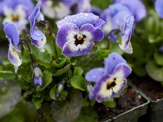 Violas at Old Westbury Gardens, which is hosting