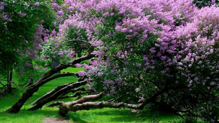 When the lilacs bloom, it's time to plant