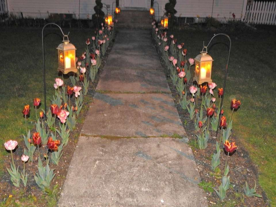 Tulips In Bloom In North Babylon
