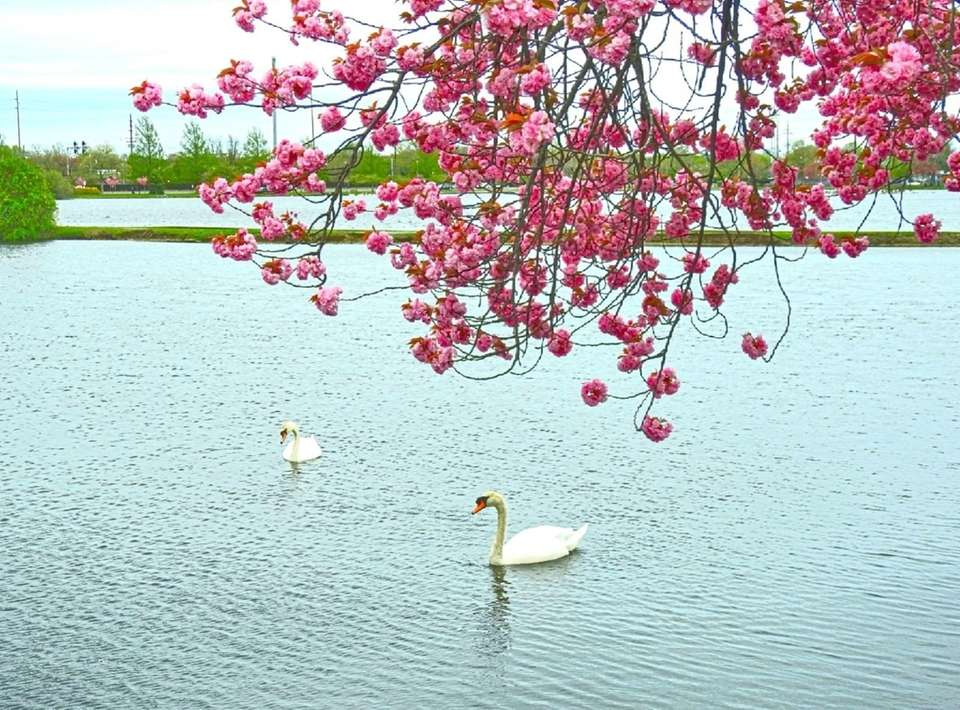 Cherry Blossoms In Bloom At Argyle Lake