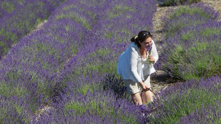 Lavender by the Bay draws many people to