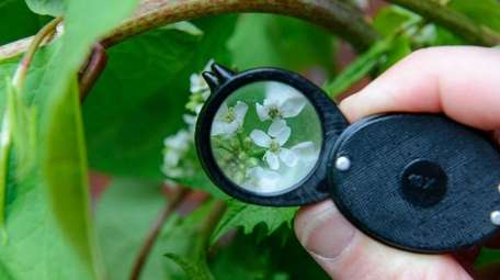 Garlic mustard reveals its details under the magnifying