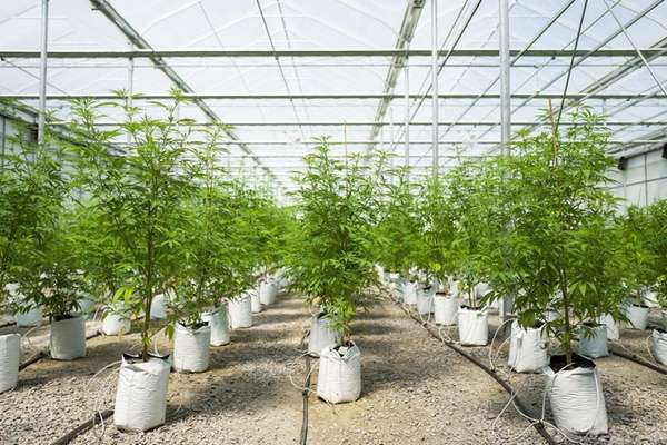 Cannabis plants grow in a greenhouse at Vireo
