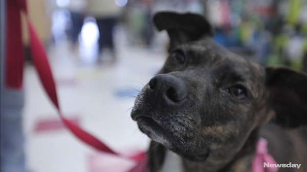 Mallory is a 19-month-old terrier-Plott hound mix that