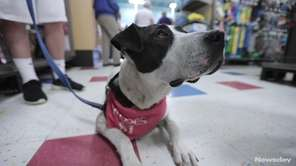 Piper is an 11-month-old pointer-springer spaniel mix that