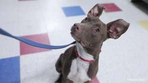 Kenny is an energetic 1-year-old lab-pit bull mix