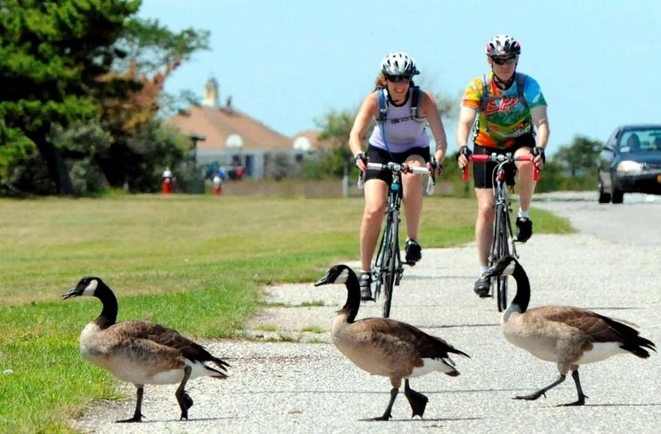 Every year, thousands of Canada geese migrate to