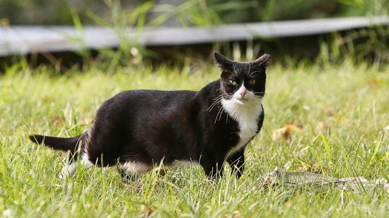 A feral cat is pictured at a feral