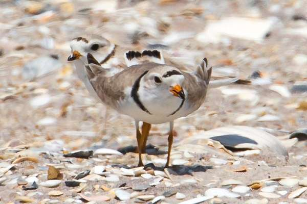 Piping plovers find sanctuary in a nesting area