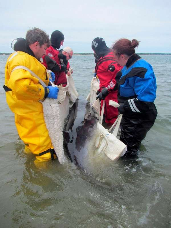 A juvenile Minke whale was found dead Wednesday,