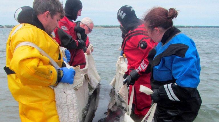 A juvenile Minke whale was found dead Wednesday,