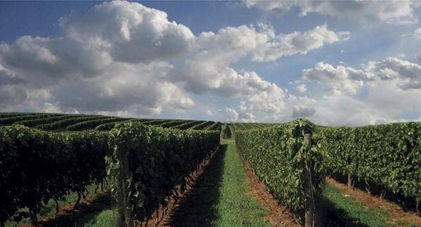 Undated -- Sagaponack, NY -- The vineyard at