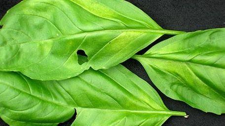 Downy mildew of basil