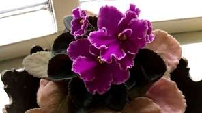 Discolored leaves on an African violet.