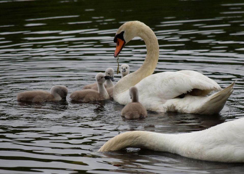 Swan feeding her cygnets at Massapequa Preserve taken