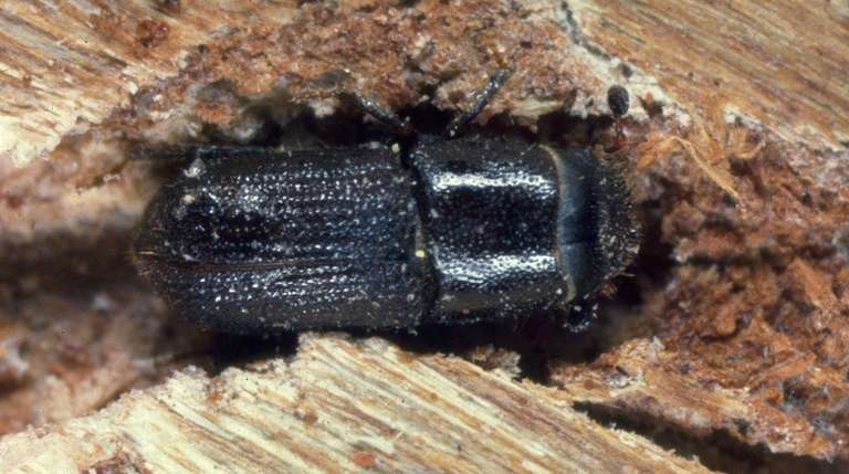 The southern pine beetle, an invasive insect that