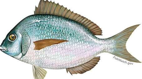 Porgy, also known as scup, is among the