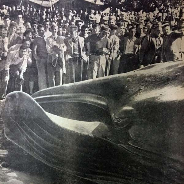 In October 1946, an injured 63-foot black whale