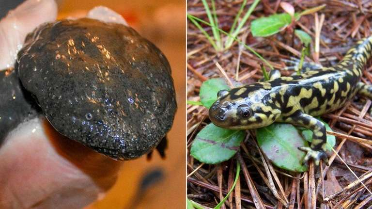 A deadly fungal disease that threatens salamander species