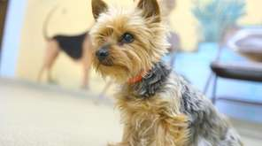 Millie is an 8-year-old Yorkshire terrier with a